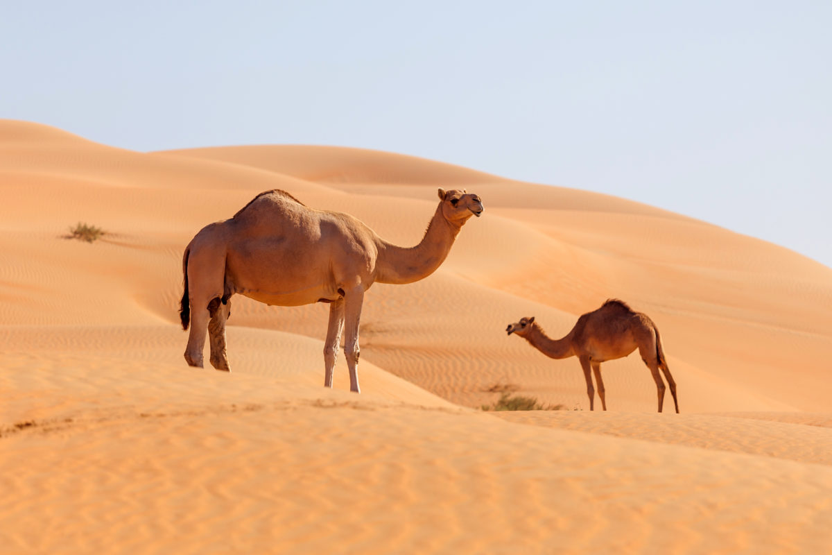 Could camels hold the key to curing Covid-19?