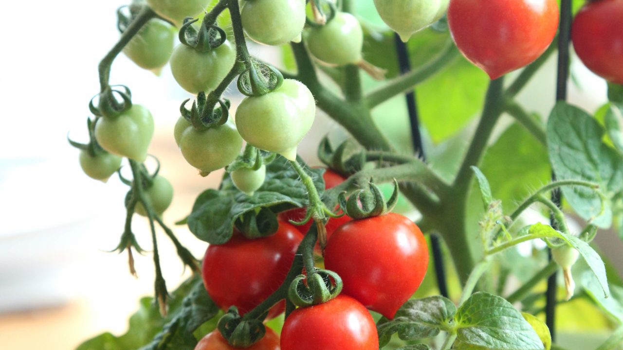 https://livehealthy.ae/wp-content/uploads/2020/08/cherry-tomatoes-1280x720.jpg