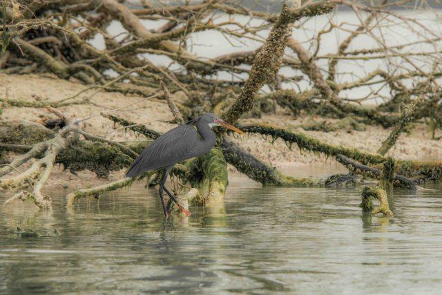 heron in Abu Dhabi mangroves