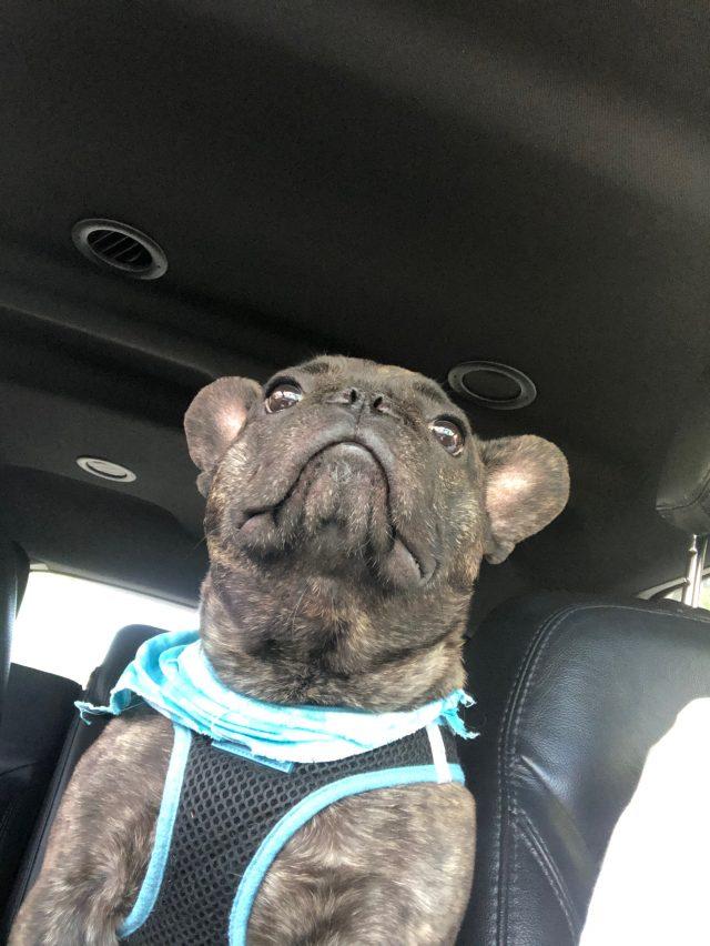 pets bulldog