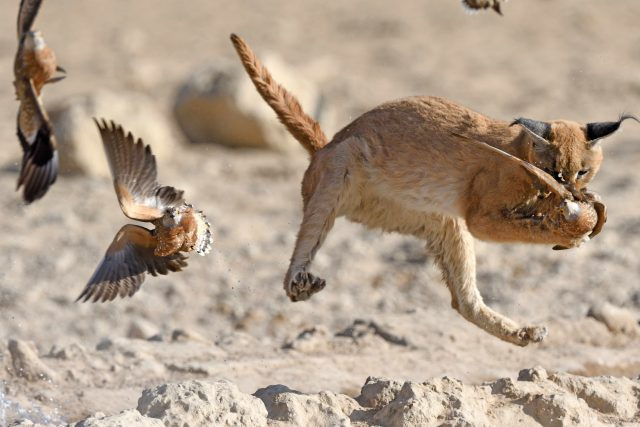 caracal conservation