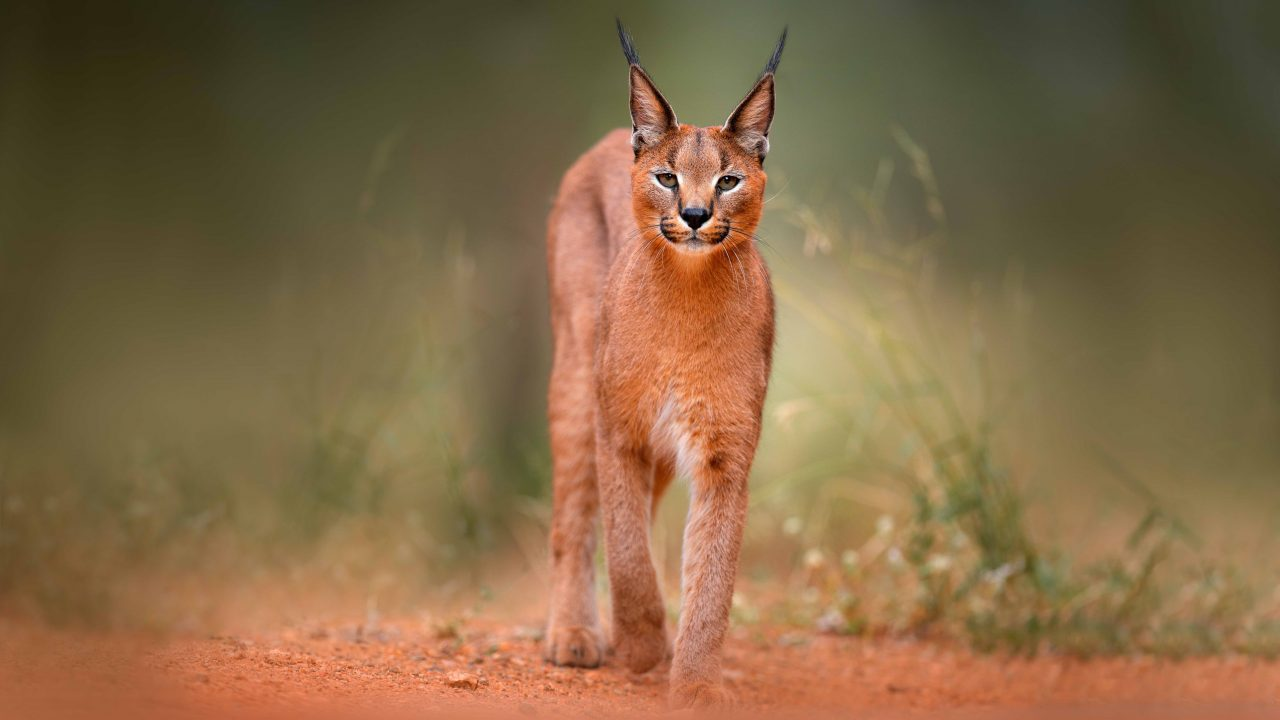 https://www.livehealthymag.com/wp-content/uploads/2021/06/caracal-main-1280x720.jpg