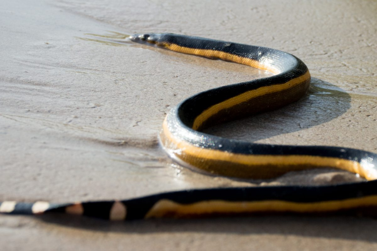 Why climate change is drawing more sea snakes to Abu Dhabi